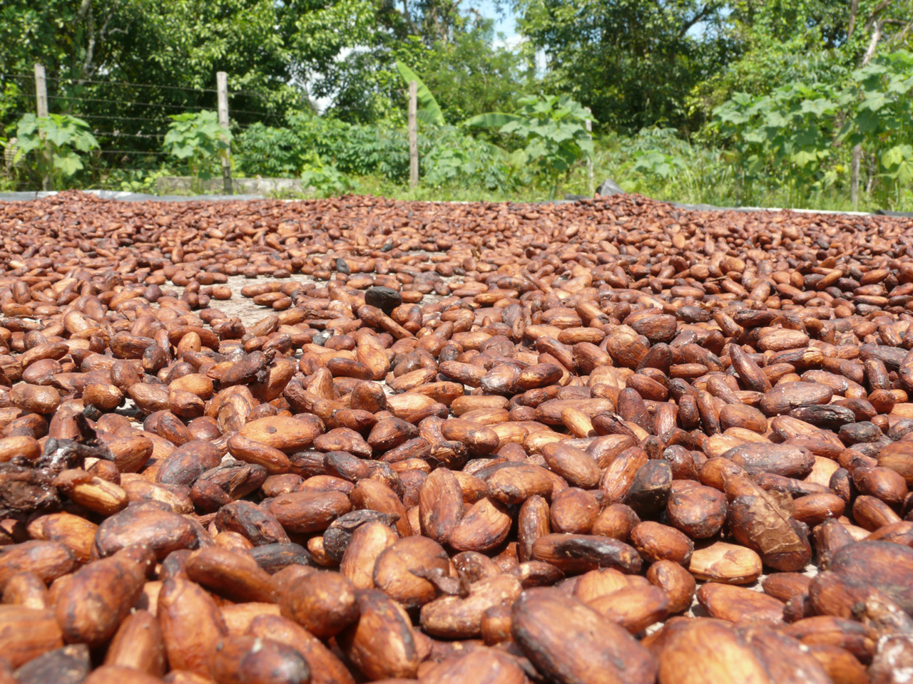 Cacao in its purest raw state